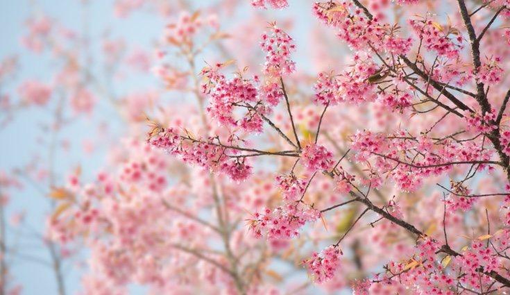 La temporada de las cerezas comienza en mayo y termina en julio