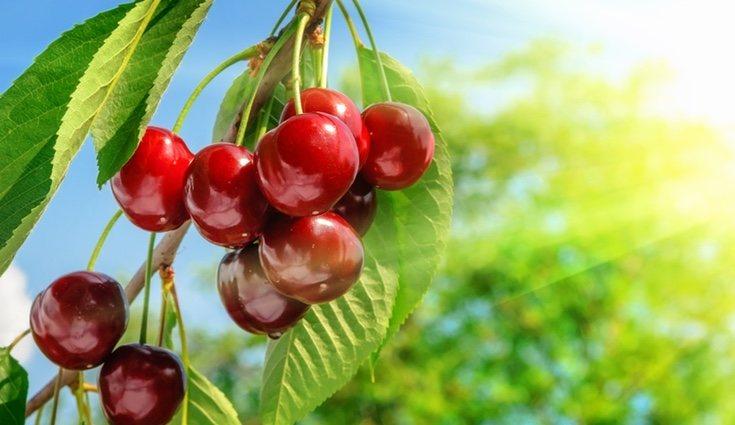 Las cerezas cuando están maduras es cuando mejor saben