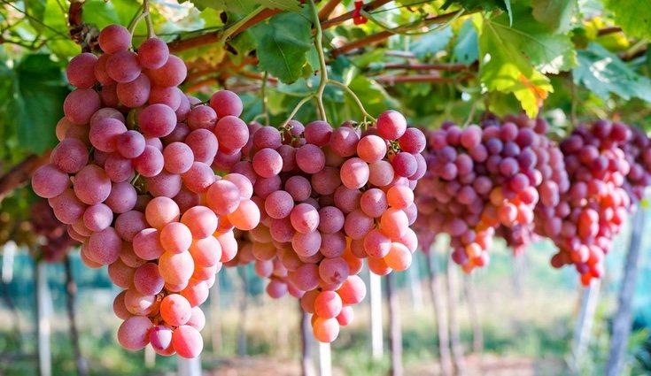 Las uvas, en todas sus variedades contienen la misma cantidad de vitamina C que los kiwis