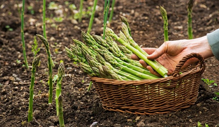 El esparrágo es ideal para añadir a una dieta para bajada de peso