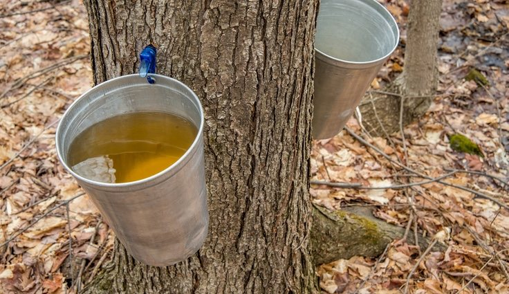 El sirope de salvia se compone de savia de arce que se extrae de los árboles de los bosques de Canadá