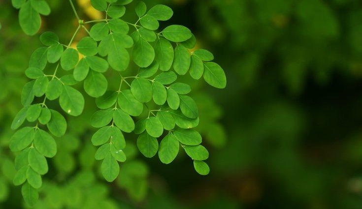 Las hojas de la moringa son la única parte comestible de la planta
