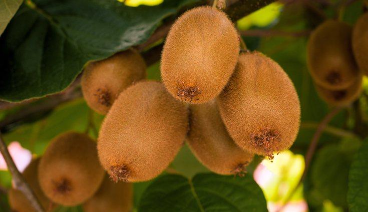 El kiwi es una de las frutas que ayuda bastante a la digestión